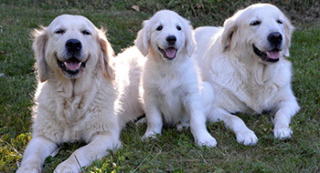 Tre golden retriever